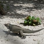 rhinoceros-iguana