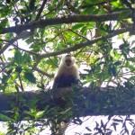 Costa Rica White Face Monkey