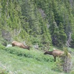 Elk off of Old Fall River Road