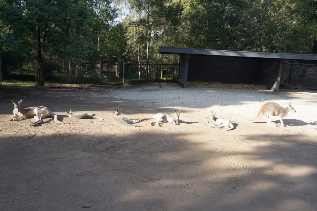 Healsville Animal Sanctuary lazy Kangaroos