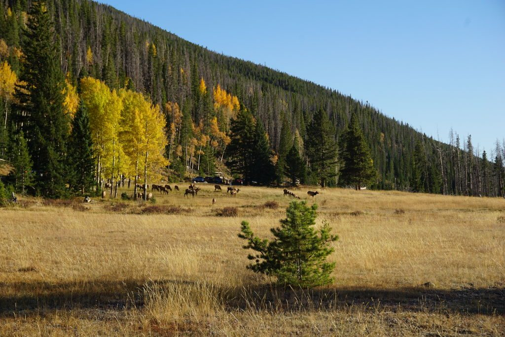 View of the Elk rut in Rocky Mountain National Park