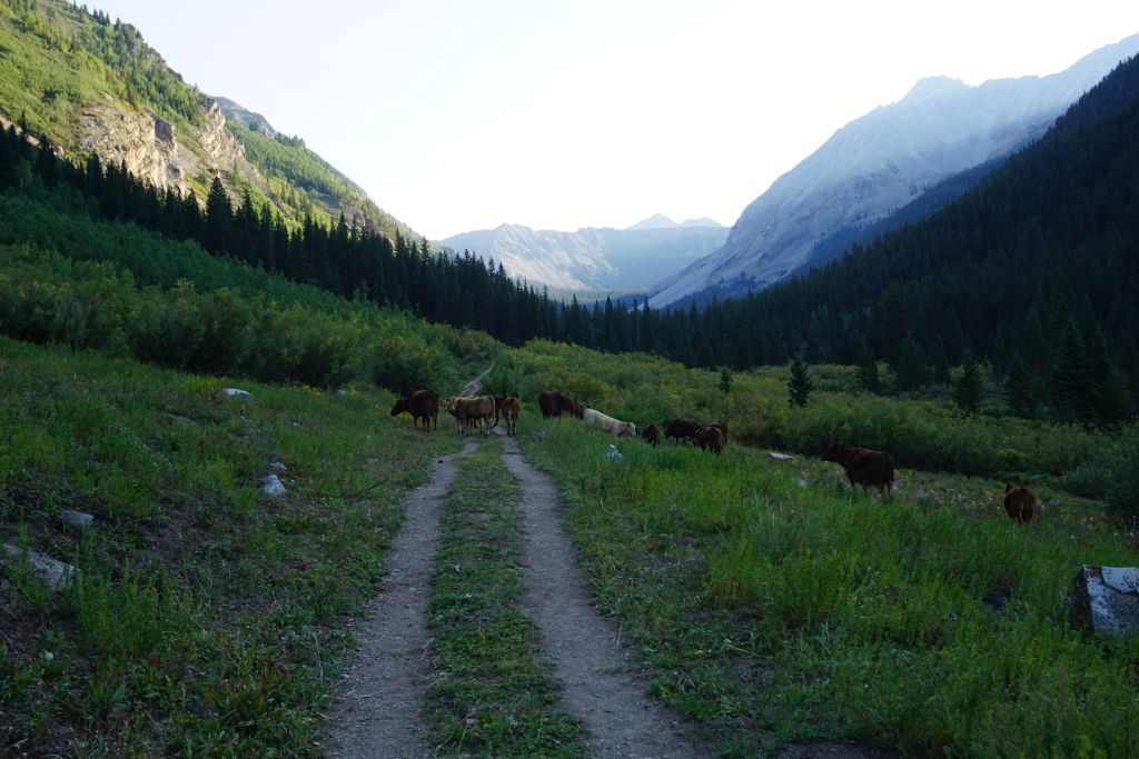 Hiking the Copper Creek Trail with cows